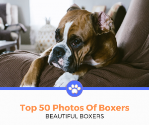 top 50 boxer dogs